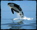 Killerwhales.png