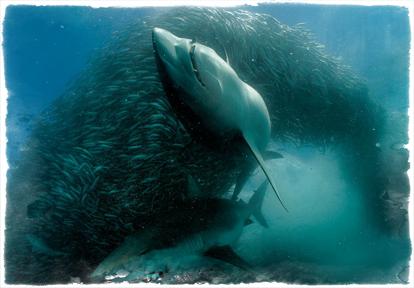 SharkandBatefish